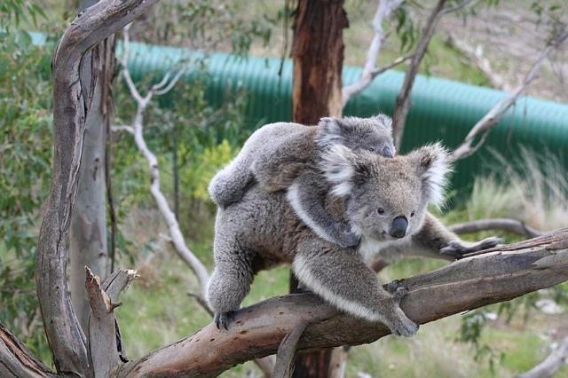 koala s mládětem